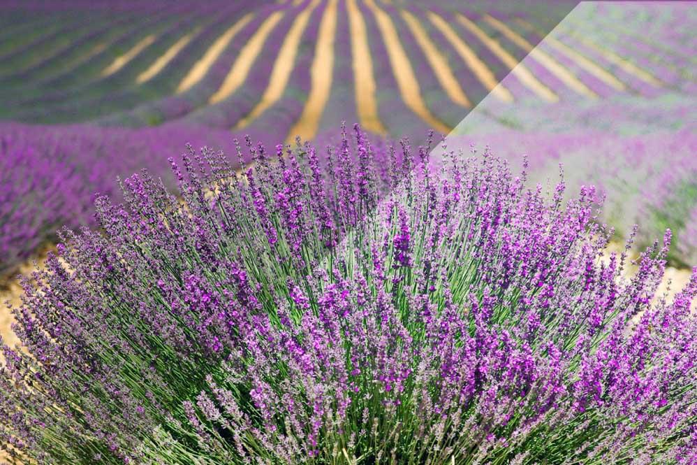Rosa blühendes Lavendelfeld
